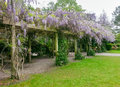 Wisteria bloom spring cell phone image of a woody climbing vine with large pendulous flower clusters native to eastern united Stock Photo