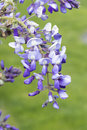 Wisteria blooming chinese sinensis Stock Photo