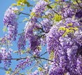 Wisteria a blooming climber in spring Stock Photos