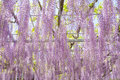 Wisteria blooming in end of spring season beautiful Stock Image