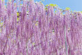 Wisteria blooming in end of spring season beautiful Royalty Free Stock Images