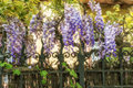 Wisteria clings to an iron grate fence. Royalty Free Stock Photo