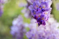 Wisteria clusters of purple lilac flowers during spring abstract racemes flowering in garden blurred bokah suitable for your Royalty Free Stock Images