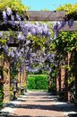 Wisteria covered walkway tamworth over a brick in the park staffordshire england uk western europe Royalty Free Stock Image