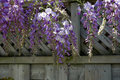 Wisteria flower wood fence draping over in the summer time Stock Photography