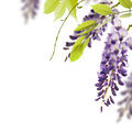 Wisteria flowers, floral design element Royalty Free Stock Photo