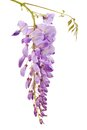 Wisteria flowers isolated on white Stock Photography