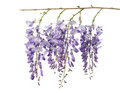Wisteria flowers isolated Royalty Free Stock Photo