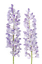 Wisteria flowers purple isolated on white background Royalty Free Stock Photos