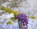 Wisteria frutescens american wisteria closeup of blooming Stock Photos