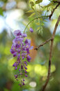Wisteria frutescens beautiful showy drooping vines of lilac blue flowers in the pea family with a beautiful fragrance Stock Images