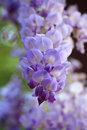 Wisteria in the spring garden magnificent flowers are produced pendulous racemes clusters to cm long during Royalty Free Stock Photography