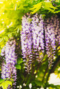 Wisteria on a sunny day Royalty Free Stock Photo