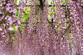 Wisteria trellis in the japanese garden Stock Photos