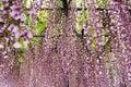 Wisteria trellis in the japanese garden Stock Photos