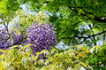 Wisteria trellis taken in the spring of japan Royalty Free Stock Images