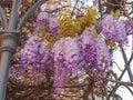 Wisteria violet aka wistaria or wysteria flowers Royalty Free Stock Photo