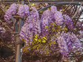 Wisteria violet aka wistaria or wysteria flowers Stock Images