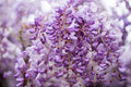 Wisteria wistaria wysteria close up in springtime Royalty Free Stock Photos