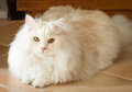Wit en abrikoos perzische ragdoll cat lying down looking up Royalty-vrije Stock Foto's