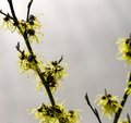 Witch hazel detail of a beautiful yellow flowering plant Stock Photography