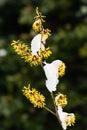 Witch hazel hamamelis flower of Royalty Free Stock Images