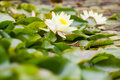 Wite water lilies growing in quiet waters of pond Stock Photos