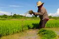 Withdrawal pulling rice seedlings strike hit in the leg to keep the soil from the roots Stock Images