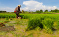 Withdrawal pulling rice seedlings strike hit in the leg to keep the soil from the roots Royalty Free Stock Photo
