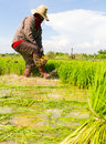 Withdrawal pulling rice seedlings strike hit in the leg to keep the soil from the roots Stock Photo