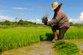Withdrawal pulling rice seedlings strike hit in the leg to keep the soil from the roots Royalty Free Stock Photography