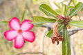 Wither and bloom desert rose flowers impala lily Royalty Free Stock Image