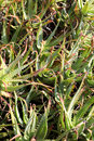 Withered aloe vera picture of leaves Stock Images