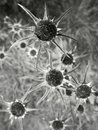 Withered flowers in greyscale black and white – vertical orientation Royalty Free Stock Image