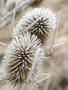 Withered frosty common teasel in winter plants Stock Photo