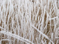 Withered grass in the snow close up snowy steppe Royalty Free Stock Image