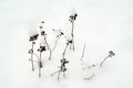 Withered grasses in the snow covered deep winter Stock Images