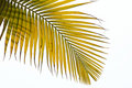 Withered leaves of palm tree Stock Photos
