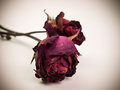 Withered red rose. Beauty death flower. Royalty Free Stock Photo