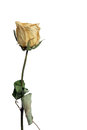Withered rose isolated against white background Royalty Free Stock Photo