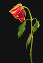 Withered rose over black multicolor background Stock Photo