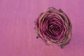 Withered rose red dry with petals over a pink background Royalty Free Stock Photography