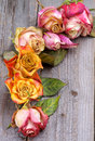 Withered roses border arrangement of beauty colorful with leafs closeup on rustic wooden background Stock Image