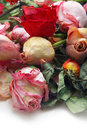 Withered roses close up of Royalty Free Stock Image
