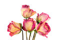 Withered roses on white background Stock Images
