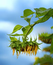 Withered Sunflower Stock Images