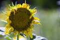 Withered Sunflower Stock Photography