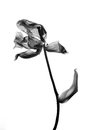 Withered Tulip in black and white Royalty Free Stock Photo
