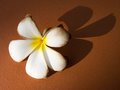 Withered white frangipani with shadow on the ground a Royalty Free Stock Photo