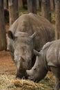 Witte Rinoceros - moeder en baby Royalty-vrije Stock Afbeeldingen